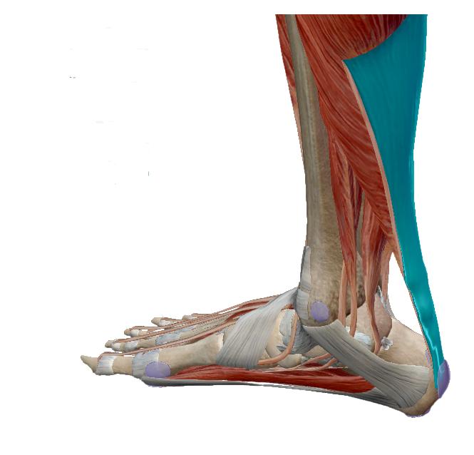 bokaízületek helyreállítása a lábak ízületei fájnak, mit kell inni
