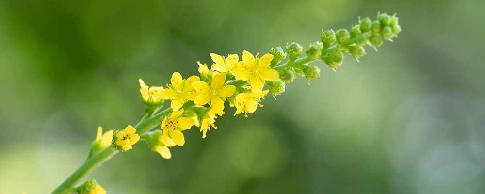 Apróbojtorján vagy párlófű (Agrimoniae herba)