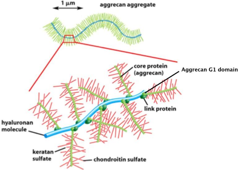 lehetséges-e kondroitin glükózaminnal venni milyen kenőcs a fájdalom a lábak ízületeiben