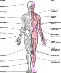 az ízületek és az izmok fájnak a csontokról